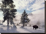 American Bison in winter  Yellowstone National Park  Wyoming