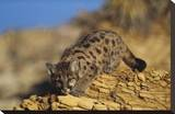 Mountain Lion or Cougar kitten with speckled coat  North America