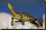 Yellow-bellied Slider turtle  portrait  on rock  North America