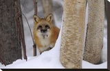 Red Fox looking out from behind trees in a snowy forest  Montana