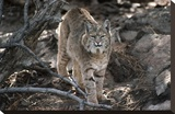 Bobcat adult portrait  Montana