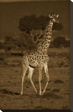 Giraffe portrait  Kenya - Sepia