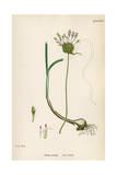 Plants  Allium Vineale