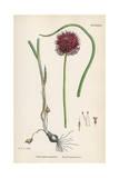 Allium-Round Head Garlic