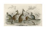 Kangaroos Various 19C