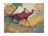 Animal  Okapi 1909