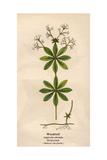 Plants  Asperula Odorata