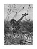 Lion Attacks Giraffe