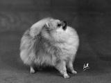 Fall  Pomeranian  1948