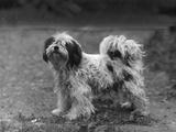 Fall  Tibetan Terriers  47