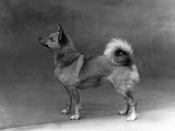 Fall  Finnish Spitz  1935