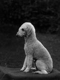 Fall  Bedlington  1937