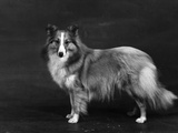 Hallinwood Golden Fetter  Shetland Sheepdog