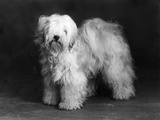 Fall  Tibetan Terrier  39