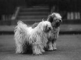 Fall  Tibetan Terrier  37