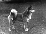 Fall  Finnish Spitz  1936