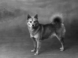 Fall  Finnish Spitz  1934