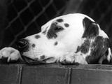 Dalmatian  Head Only  1934