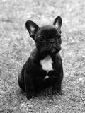 Fall  French Bulldog  Pup