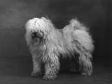 Fall  Tibetan Terriers  51