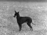 English Toy Terrier - Fall