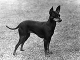 Fall  English Toy Terrier