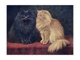 Blue  Cream Persian Cats