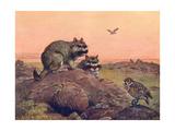 Animal  Vizcacha 1909