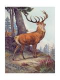 Red Deer  Austen  1908