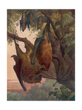 Indian Flying Foxes  Bats