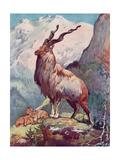Goat  Markhor 1909