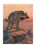 Hyena  Striped 1909