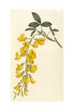 Plants  Cytisus Laburnum