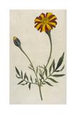 Plants  Tagetes Patula