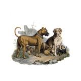 Mastiffs and Puppies