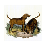 Bloodhounds  Astle