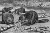 Beavers at Work