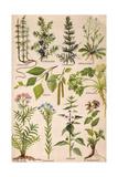 Healing Plants 1904 Pl2
