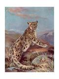 Snow Leopard (Or Ounce)