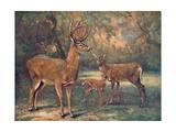Virginian Deer  Wild Bst