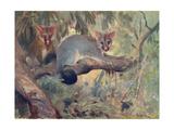 Animal  Phalanger 1909