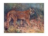 Puma in the Wild