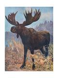 Moose (Elk)  Cuthbert Swan