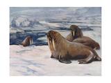 Walrus 1909