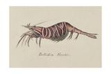 Bellidia Huntii: Shrimp