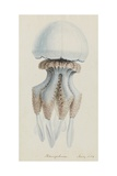 Rhizophora  Tenby  1854: Barrel Jellyfish