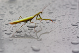 Praying Mantis Insect Photo Poster