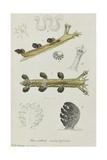 Hancockia Eudactylota: Sea Slug