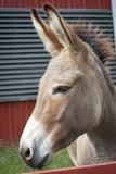 Donkey Profile Animal Photo Poster