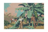 Cutting Bananas in Jamaica